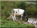 NT7754 : Cow drinking from Hen Poo by Graham Robson