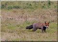 NZ5022 : Fox at RSPB Saltholme by Pauline E