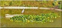 SU9185 : Heron, Cliveden Ornamental Lake by Len Williams