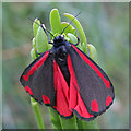 SY6869 : Cinnabar Moth (Tyria jacobaeae) by Anne Burgess