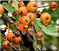 J4772 : Whitebeam berries, Scrabo, Newtownards (October 2014) by Albert Bridge