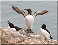 SM7309 : Razorbills and Guillemot by Hugh Venables