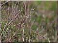SM7209 : Sedge Warbler, Skomer by Hugh Venables