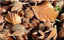 J3875 : Autumn beech leaves and nuts, Belfast (October 2014) by Albert Bridge