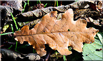 J3875 : Autumn oak leaf, Belmont Park, Belfast (October 2014) by Albert Bridge