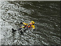 NY3603 : Rescue practice in the River Brathay (4) by Karl and Ali