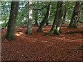 TQ0649 : Beech trees, West Hanger by Alan Hunt