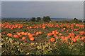 SE8176 : Pumpkin crop by Pauline E
