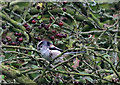 SE8584 : Long-tailed tit in hawthorn by Pauline E