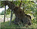SK5310 : Queen Adelaide's Oak in Bradgate Park by Mat Fascione