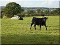 TF0622 : Bullock at Scoth Farm by Bob Harvey