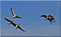 SE7170 : Greylag geese in flight by Pauline E