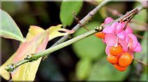 J4774 : Spindle berries, Kiltonga, Newtownards (October 2014) by Albert Bridge