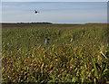 TL3434 : Maize cover crop by Hugh Venables