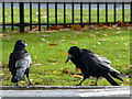 H4573 : Squabbling rooks, Omagh by Kenneth  Allen