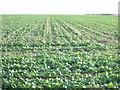 TA1466 : Crop field off Temple Lane by JThomas