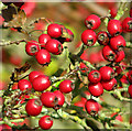 TM2297 : Hawthorn berries beside Green Lane by Evelyn Simak