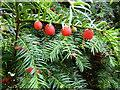 SK9716 : Taxus baccata by Bob Harvey