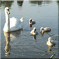 SP2965 : Breakfast for cygnets, Myton Pool, Warwick by Robin Stott