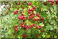 SP4907 : Hawthorn berries by the River Thames by Steve Daniels