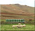 NT9716 : Sheep at Hartside Farm by Gordon Hatton