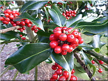 TF0627 : Holly Berries by Bob Harvey