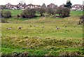SJ9395 : Geese in a field by Gerald England