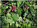 TF0622 : Hawthorn and Ivy by Bob Harvey