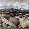 ST9161 : False widow spider by Doug Lee