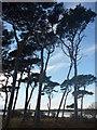 NT6378 : East Lothian Landscape : Pines Near Hedderwick Hill by Richard West