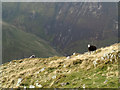 NY2315 : Grassy mountain slope with sheep by Trevor Littlewood