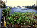 H4572 : Japanese Knotweed, Irishtown Road, Omagh by Kenneth  Allen
