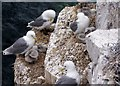 NU2135 : Kittiwakes, Farne Islands by David Chatterton