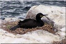 NU2135 : Shag on nest by David Chatterton