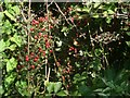 SS8278 : Red berries in a hedgerow near Nottage by eswales