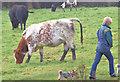 J3370 : Cattle, Lagan Meadows, Belfast - November 2014(2) by Albert Bridge