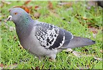 J3573 : Feral pigeon, Ormeau Park, Belfast - November 2014(1) by Albert Bridge