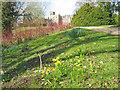 SK5453 : Daffodils at Newstead Abbey - 1 by Trevor Rickard