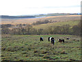 NY5569 : Belted Galloways by the Bewcastle Road by Oliver Dixon