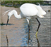 SX2553 : Little Egret fishing in Looe Harbour, Cornwall by Edmund Shaw