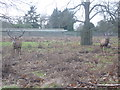 TQ1569 : Stags in Bushy Park by Marathon