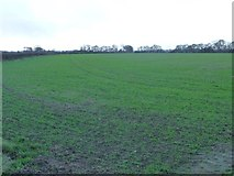 SE4169 : Emerging crop, Burton Moor by Christine Johnstone
