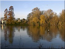 TQ1673 : Weeping willows and exotic conifers, Twickenham riverside, December 2014 by Stefan Czapski