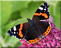 NT4936 : A red admiral butterfly on a sedum flower head by Walter Baxter