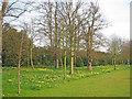 SK9239 : Daffodils at Belton House Gardens by Trevor Rickard