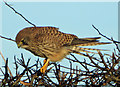 TA0615 : Kestrel by David Wright