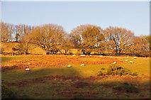 SS8928 : West Somerset : Grassy Hillside & Sheep by Lewis Clarke