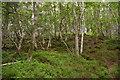 NY7960 : Birch woods below Staward Peel by Christopher Hilton