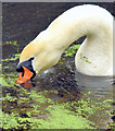 J2967 : Swan and duckweed, Lagan canal, Drumbeg/Ballyskeagh (December 2014) by Albert Bridge