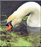 J2967 : Swan and duckweed, Lagan canal, Drumbeg/Ballyskeagh (December 2014) by Albert Bridge